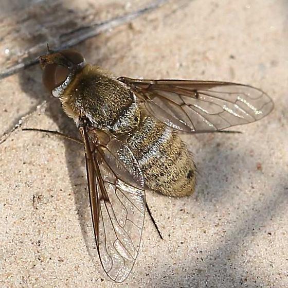 Badlands bee fly - Chrysanthrax