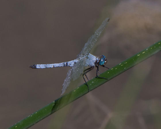 Unknown Dragonfly - Erythemis collocata - male