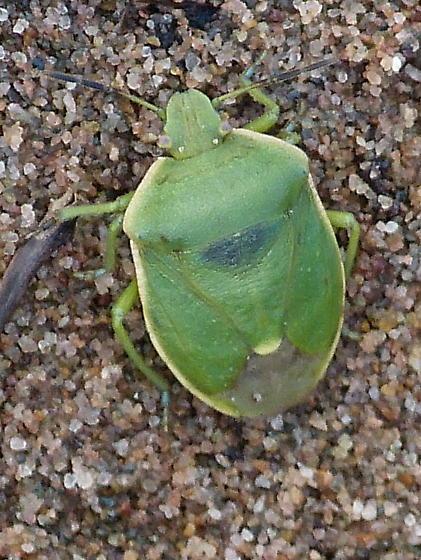 green stink bug - Chlorochroa persimilis