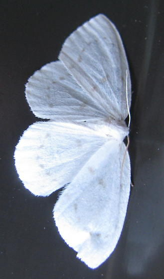 Northern Eudeilinia ? - Eudeilinia herminiata