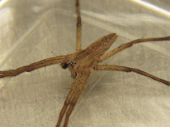 Long Legged Sack Spider? - Pisaurina mira