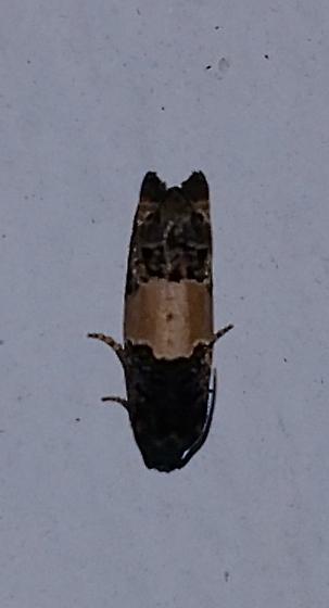 Unkown Tortricoidea?