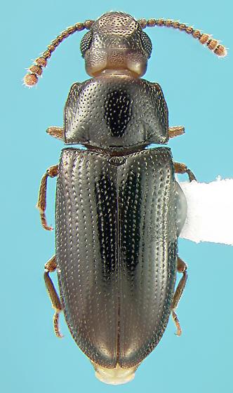 Erotylid - Pharaxonotha kirschii