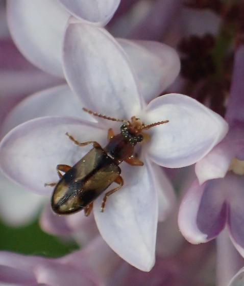 Anthicidae sp ? - Orsodacne atra