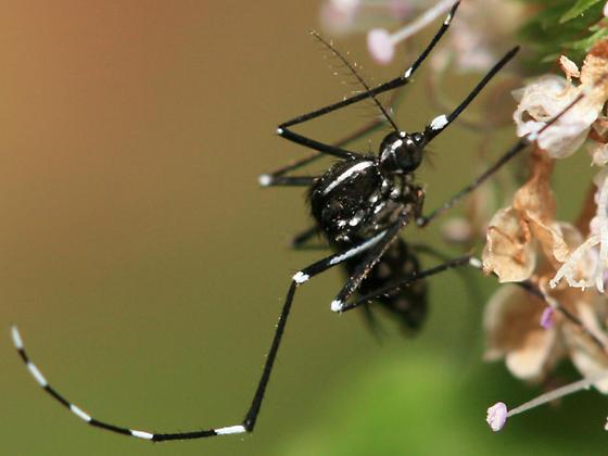 Asian Tiger Mosquito - Aedes albopictus