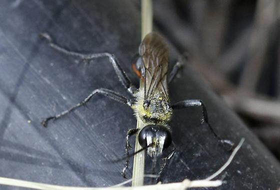 Sawfly? - Prionyx
