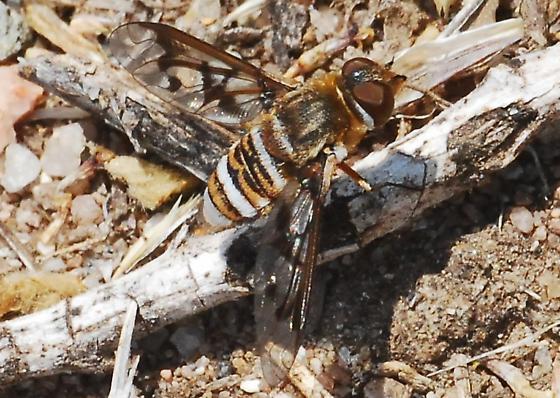 Orange County Bee Fly Archives #97 - Exoprosopa doris