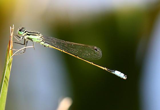 Green Damsel Fly - Ischnura ramburii