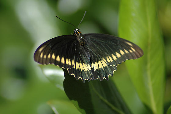 Polydamas Swallowtail, Battus polydamas (Linnaeus 1758), Key West, Florida - Battus polydamas
