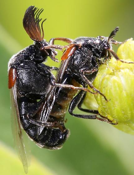 Ripiphoridae mating - Ripiphorus - male - female
