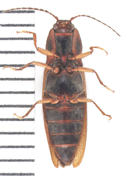 Elateridae, ventral - Hemicrepidius hemipodus
