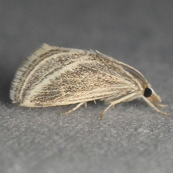 Procymbopteryx belialis?  - Procymbopteryx belialis