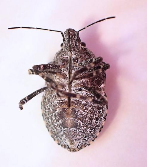 ID Request  - Brochymena cariosa