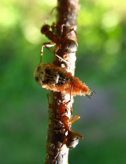 Flower fly larvae eating ant guarded aphids
