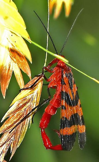 Scorpion Fly - Panorpa nuptialis