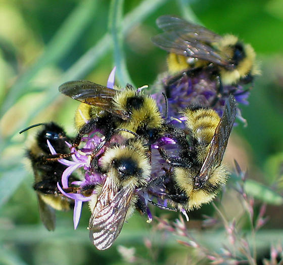Bumble Bees on Knapweed - Bombus insularis - male