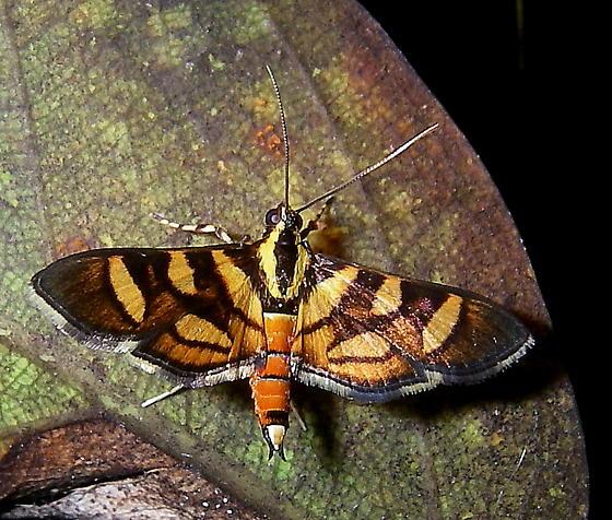 Moth - Syngamia florella