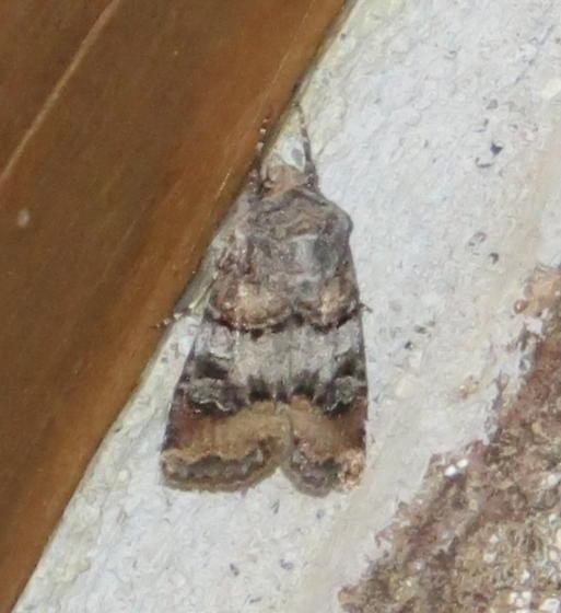 Moth - Yellowstone #1 - Euxoa murdocki
