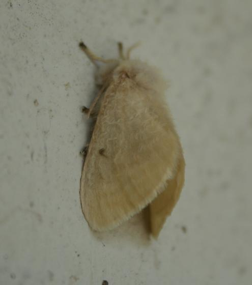 Moth - Megalopyge lacyi