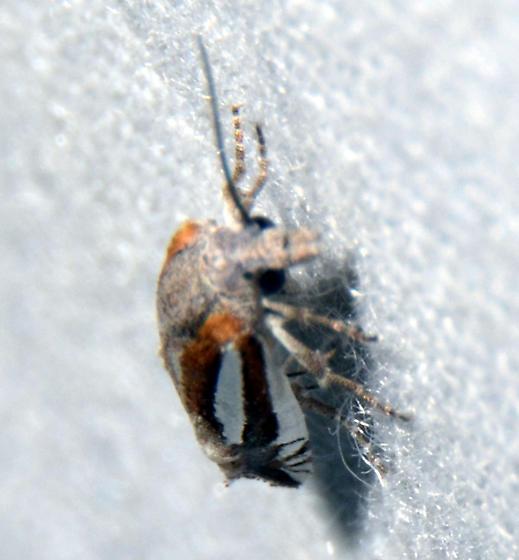 Phaneta sp. (maybe P. argenticostana) - Eucosma fulvotegulana