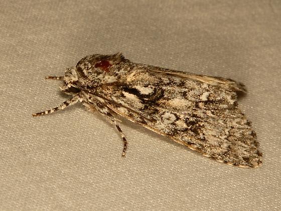 Moth - Acronicta marmorata