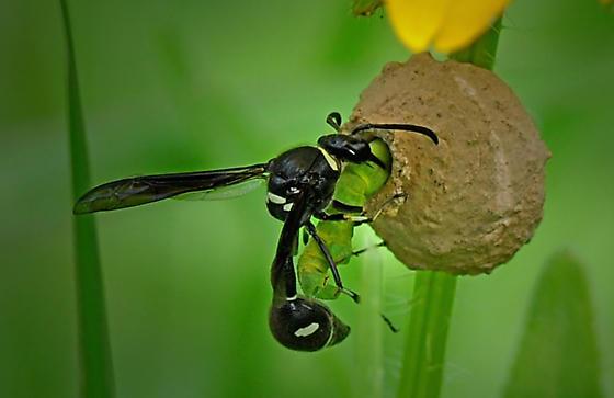 Potter Wasp - Eumenes fraternus - female
