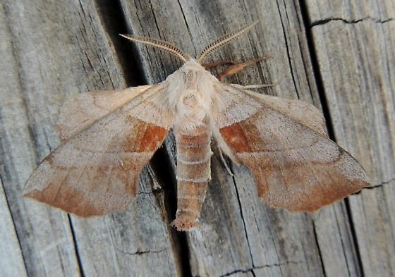 a unique looking Walnut Sphinx - Hodges#7827 for April for LA?? - Amorpha juglandis