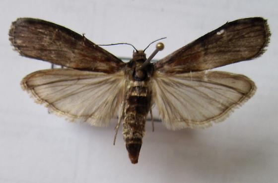 Kentucky moth - Euzophera ostricolorella