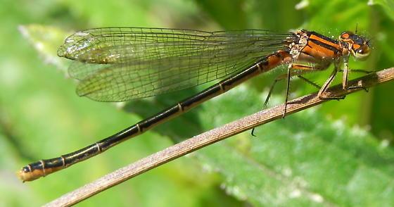 Damselfly - Ischnura erratica - female