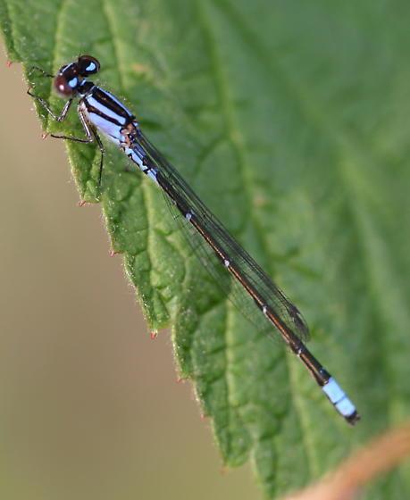 Black and Blue - Enallagma geminatum