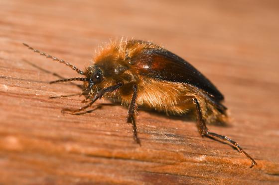 hairy beetle - Scaptolenus