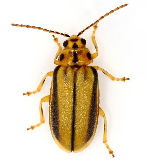 Chrysomelid - Xanthogaleruca luteola