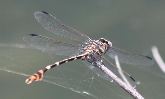 Ringtail? - Phyllogomphoides stigmatus