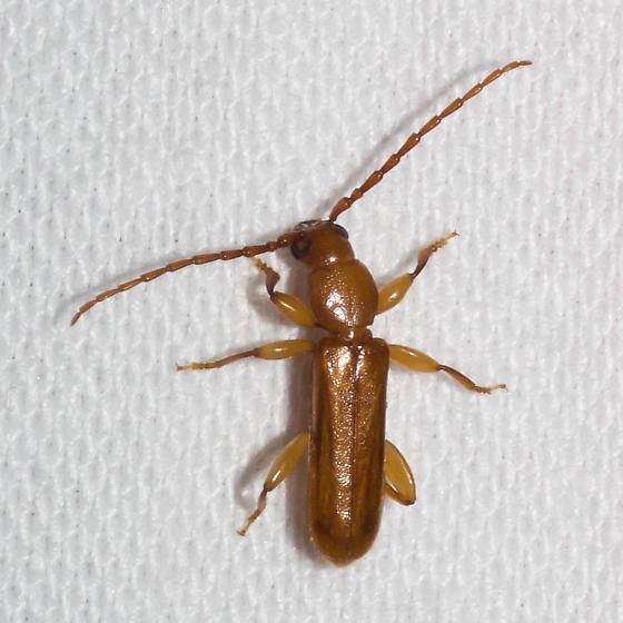Orange longhorn beetle - Smodicum cucujiforme