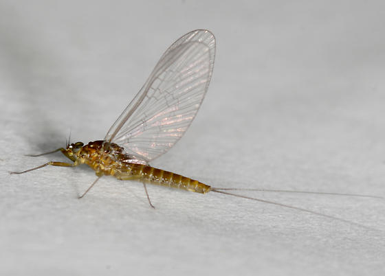 Baetis flavistriga adult female - Baetis flavistriga - female