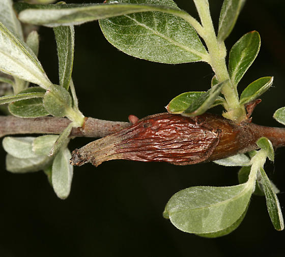 galls on female Sitka Willow - Rabdophaga rigidae
