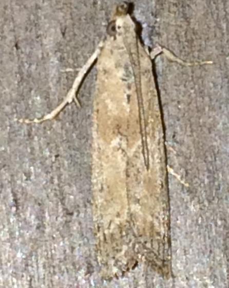 Moth 7/9.6 - Ancylosis undulatella