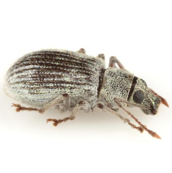 Weevil found on American chestnut leaf - Cyrtepistomus castaneus