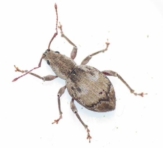 Beetle - Sciopithes obscurus