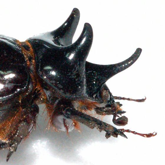 Major Male - Strategus antaeus - male