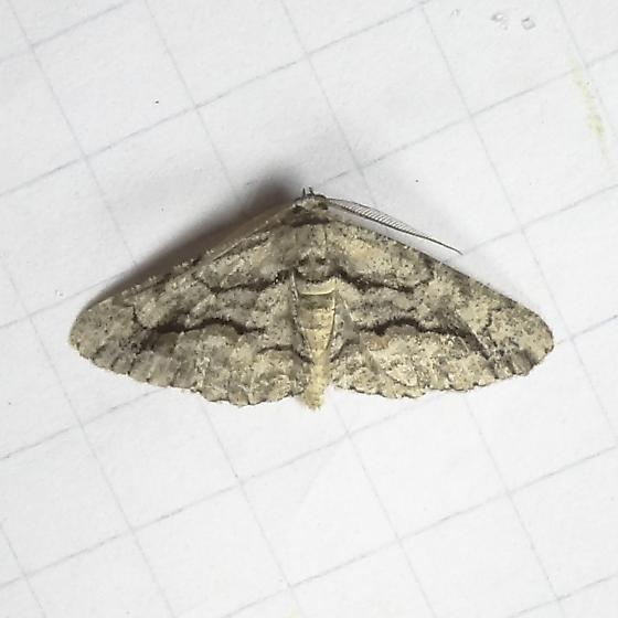 ID Request - Anavitrinella atristrigaria - male