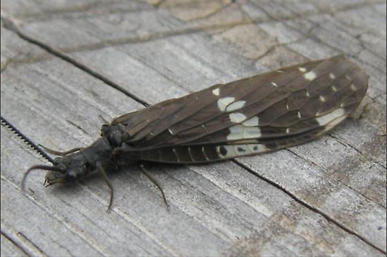Dark Fishflies Mating? - Nigronia serricornis - male