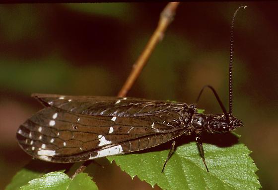Dark Fishfly - Nigronia serricornis - male