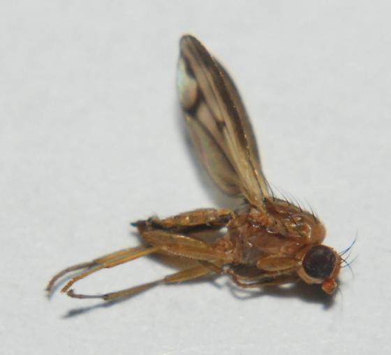 Fly 20 - Opomyza petrei