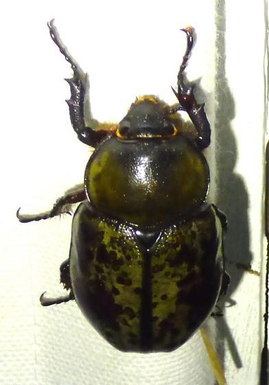 Dynastes tityus - Eastern Hercules Beetle - Dynastes tityus - female