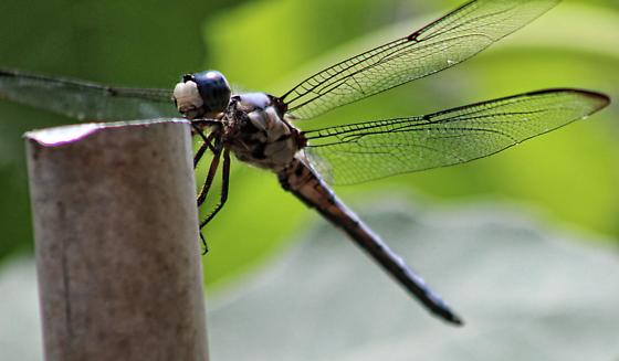Another Dragonfly in Garden Area - Libellula vibrans - male