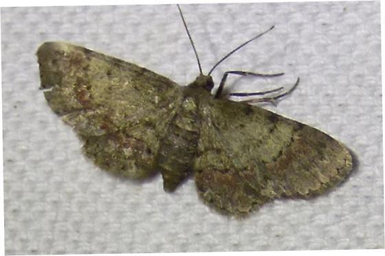 unknown moth - Glenoides texanaria