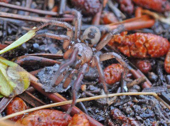 Spider ID - Central Oregon, USA - Antrodiaetus