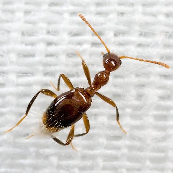 beetle - Acanthinus argentinus