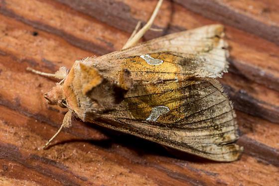 Owlet moth - Autographa metallica